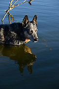 "A 9-year-old Blue Heeler named ""Jazz"" cools off in a lake in Tucson, Arizona, USA.  Jazz was brn deaf."