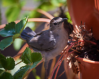 Gray Catbird checking the Grow Tower for strawberries. Image taken with a Nikon D5 camera and 600 mm f/4 VR lens
