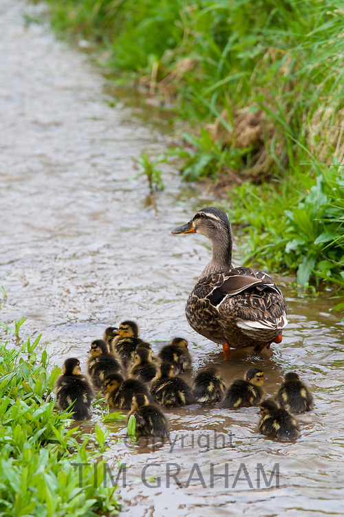 Female mallard duck with14 newly-hatched ducklings, Anas platyrhynchos, on a stream in springtime at Swinbrook, the Cotswolds, UK