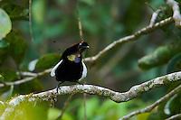 Bronze Parotia Bird of Paradise (Parotia berlepschi) male.