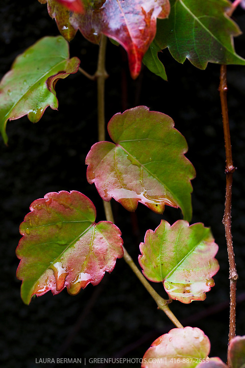 Boston Ivy (Parthenocissus tricuspidata) showing its beautiful fall colors.