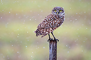 A Burrowing Owl, Athene cunicularia, rests near its burrow during a rainstorm in the city of Boca Raton, Florida, United States.