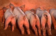 DEU, Deutschland: Hausschwein (Sus Scrofa f. domestica), Gruppe von Ferkeln werden von ihrere Mutter gesäugt, Seedorf, Schleswig-Holstein | DEU, Germany: Domestic pig (Sus scrofa f. domestica), group of piglets nursed by their mother, Seedorf, Schleswig-Holstein |