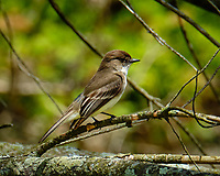 Eastern Phoebe. Image taken with a Fuji X-T2 camera and 100-400 mm OIS lens (ISO 200, 400 mm, f/11, 1/120 sec).
