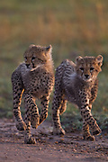 Mother and her 6 little cubs<br /> These stunning images taken by award winning British Photographer Paul Goldstein who was one of the first photographers to see and photograph these remarkable cubs in Kenya. Previously they had been in the Serengeti in Tanzania before migrating north over the border into Kenya's Masai Mara. As an experienced guide he has spent a thousand game drives waiting for moments like these. He takes up the tale ' Four years ago I was lucky enough to spend an unforgettable few minutes early one morning with a mother and five cubs . (enc.) For years it was my favourite wildlife moment. It has now been trumped by this remarkable mum. Too many times I have spent days with small cheetah cubs only to find their mother the next day mourning them thanks to marauding lions or hostile hyenas. This mother has broken all the statistics and astonishingly looks as though she may get them through to adulthood, although when they get to six months they will become a real handful especially at the dinner table. Each morning I would get up early guiding safari enthusiasts to try to spot them. Several mornings we got lucky, very lucky. Seeing six cheetahs up a tree with cubs clambering up and flinging themselves off, all before breakfast is a reward beyond measure. Priceless.<br /> ©Paul GoldStein/Exclusivepix