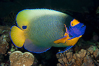 Yellow-Mask Angelfish<br /> <br /> shot in Indonesia