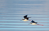 Pair of black-necked stilts in flight over water in early light, with gentle waves in background, © 2011 David A. Ponton