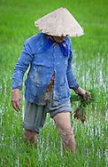 Women in Rice field, Nah Thrang.