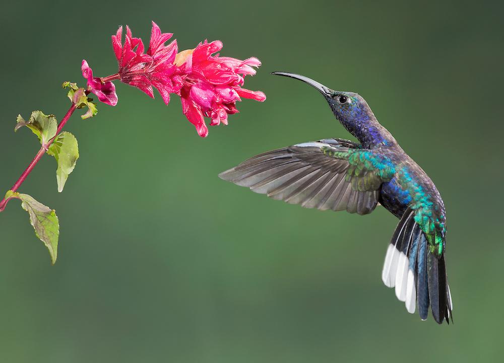 Violet Sabrewing (Campylopterus hemileucurus) hummingbird nectoring at a Fuchsia, Costa Rica