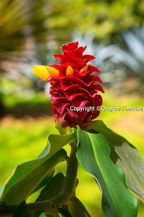 Red ginger, World Botanical Gardens & Waterfalls.at Botanical World, Hamakua Coast, Big Island of Hawaii