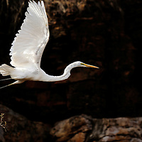 Intermediate Egret taking off, Ranthambhore, India
