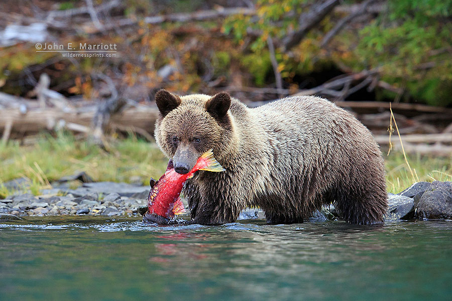 Grizzly bear and sockeye salmon, British Columbia, Canada