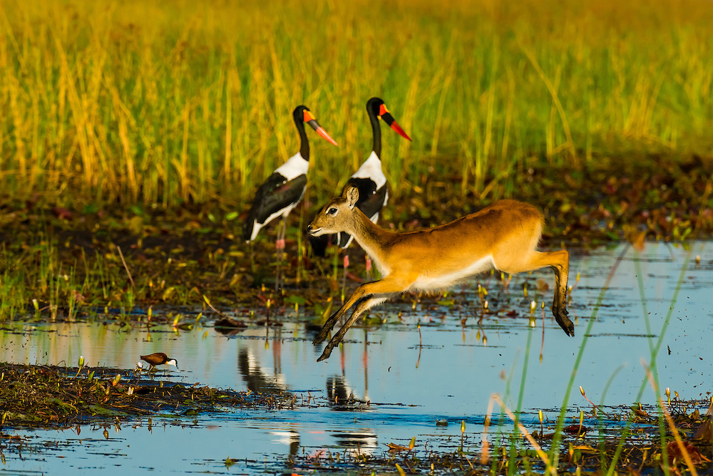 A Red Lechwe (antelope) jumps across a stream with two saddle-billed storks behind), near Kwara Camp, Okavango Delta, Botswana.