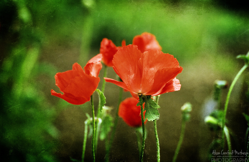 Delicate red poppies bloom in a poppy field in Flanders, Belgium.