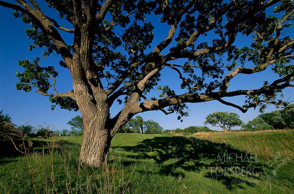 Sarpy County, Nebraska.  Burr oak tree.