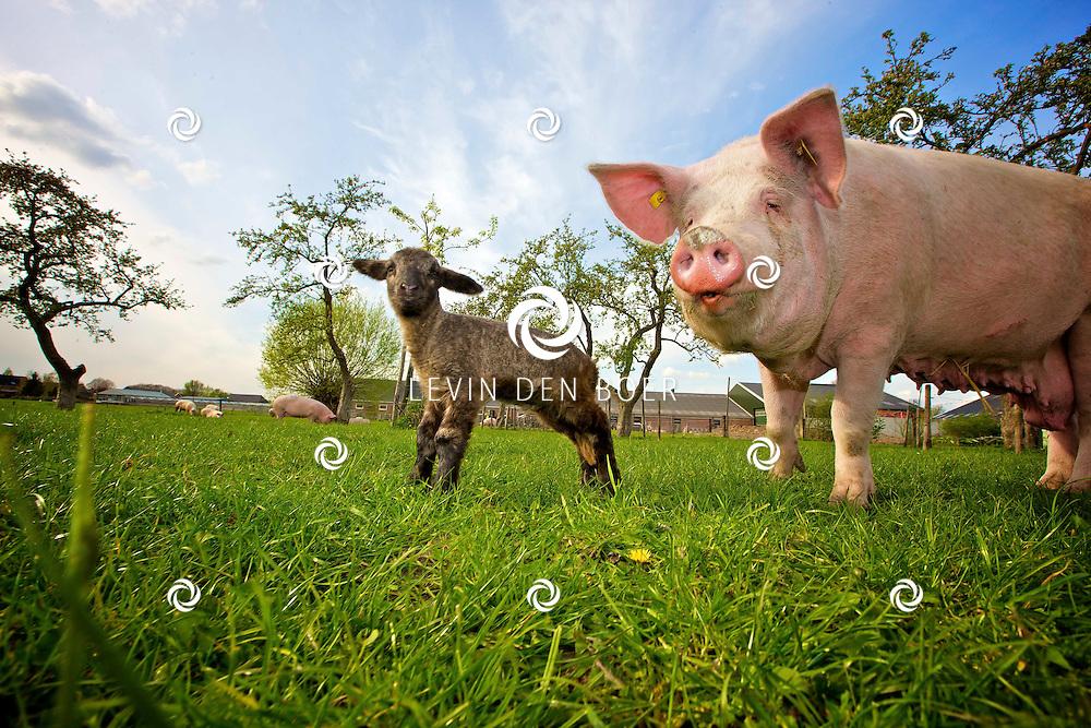 WELL - In het weiland van biologische boerderij Schuttershof loopt het lammetje en de varkens heerlijk los en te genieten van hun vrijheid. FOTO LEVIN DEN BOER - PERSFOTO.NU