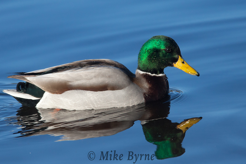 Mallard duck (Anas platyrhynchos) at Blenkinsop Lake