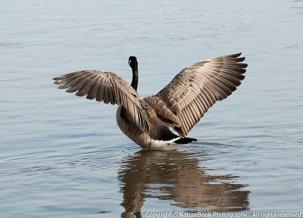 A Canada Goose stretches and adjusts its wings at the National Elk Refuge in Grand Teton National Park.  Notice the intricate feather structure needed to enable this bird to fly.