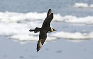 Pomarine Skua Stercorarius pomarinus (L 42-50cm) shares some plumage similarities to Arctic Skua but is appreciably larger, with deep, powerful wingbeats, and long, spoon-shaped tail streamers in adults. Two adult forms occur: dark morph (uniformly dark) is seldom seen while pale morph is more regular; it has white neck and belly, dark grey-brown upperparts, yellow-flushed cheeks and a dark breast band. Juvenile has variably barred dark, grey-brown. Outer Hebrides and NW Ireland are migration hotspots for Pomarine Skuas.