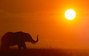 Elephant at sunset, Serengeti National Park, Tanzania.