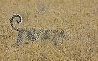Leopard (Panthera pardus) blends into the dry yellow grass, Northern Serengeti