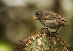 Common cactus Finch (Geospiza scandens) in Galapagos, Equador