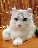 beautiful American Curl cat with white fur, blue eyes and curled ears, against gold satin background