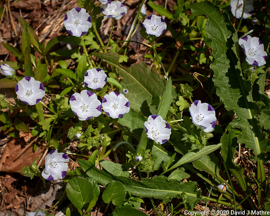 Five-spot flowers. Image taken with a Leica CL camera and 60 mm f/2.8 lens (ISO 100, 60 mm, f/5.6, 1/2500 sec).
