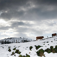 Cows look for grass in the snow in the Northern Spanish Basque village of Okondo, on December 2010. Photo Rafa Rivas
