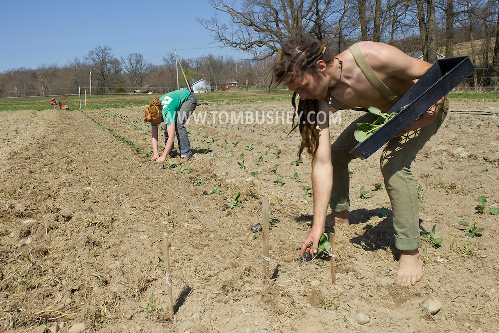 Chester, New York - Jay Uhler, right, and Laura Nywening, plant another row of cabbage at Peace and Carrots Farm on April 23, 2013. The CSA (Community Supported Agriculture) farm is in its first growing season.