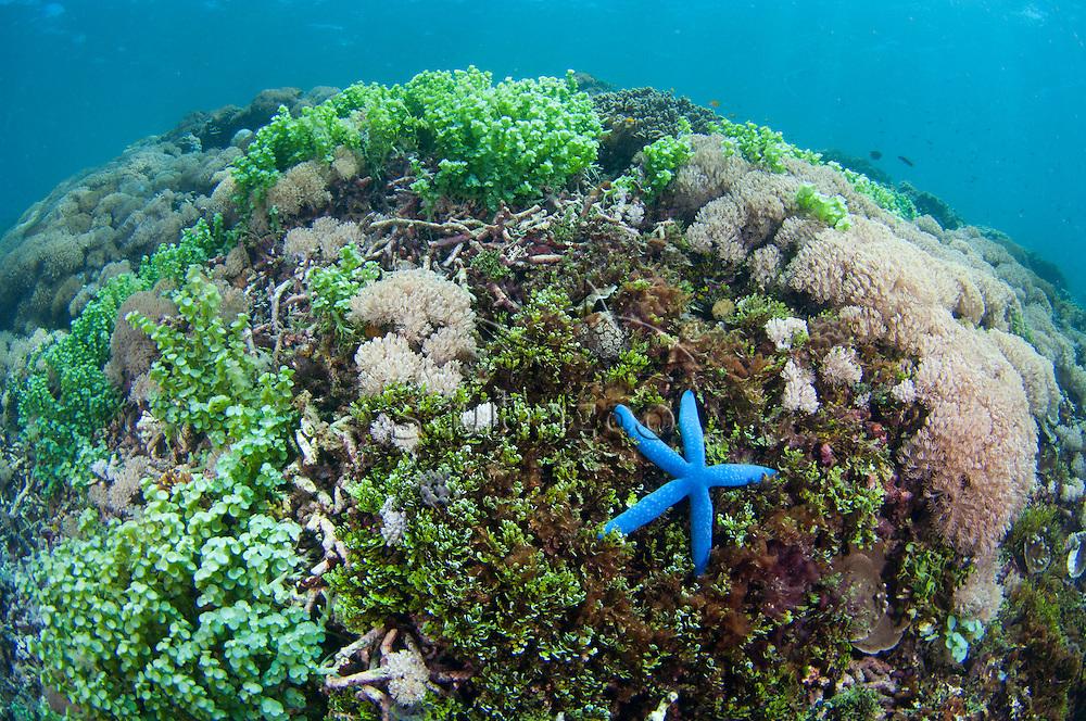 Seagrass, soft corals, and a Blue Sea Star, Linckia laevigata, on the seabed, Taliabu Island, Sula Islands, Indonesia.