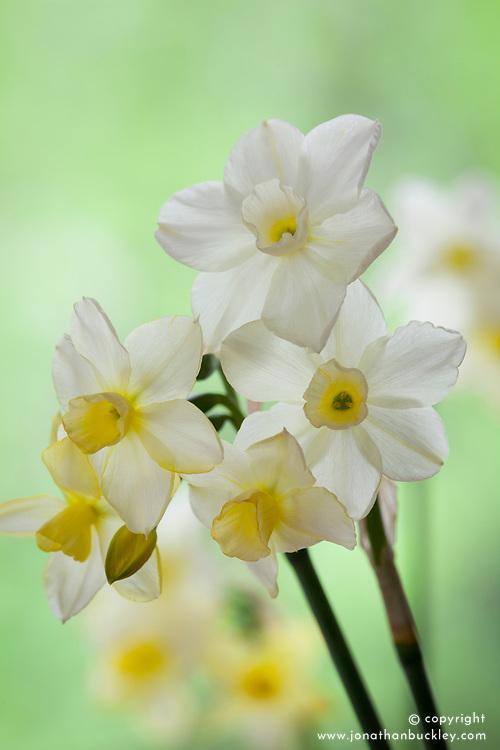 Narcissus 'Desert Bells'