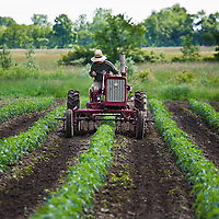 Organic farmer Ted Thorpe cultivates his field of heirloom tomatoes on his FarmAll tractor.