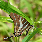 The Chain (Stripe) Swordtail, Pathysa aristeus hermocrates butterfly in Kang Krachan National Park, Thailand.