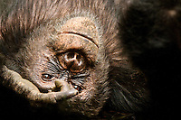 Young female chimpanzee resting after lunch, Africa. African wildlife Photography, Fine art photography print, stock image.