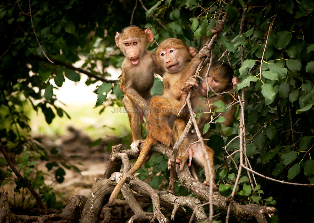 Baboons are terrestrial (ground dwelling) and are found in open savannah, open woodland and hills across Africa