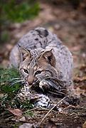 A male bobcat (Felis rufus) eating a grouse.