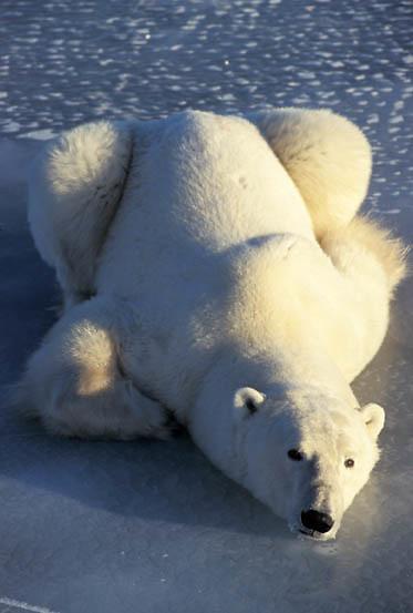 Polar Bear, (Ursus maritimus) Resting on frozen Churchill, Manitoba. Canada.