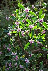 Daphne odora 'Aureomarginata'. Gold-edged winter daphne