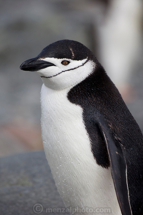 A single Chinstrap penguin living among Gentoos on Cuverville Island. Nesting pairs on the Gentoo penguin colony on the island tend their eggs and chicks. They have to be vigilant to ward off skua birds that try to eat the eggs and chicks..