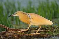Squacco heron, Ardea ralloides, Lake Kerkini, Macedonia, Greece