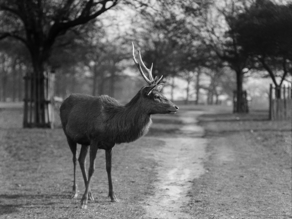 Deer, Richmond Park, Surrey, England, 1925