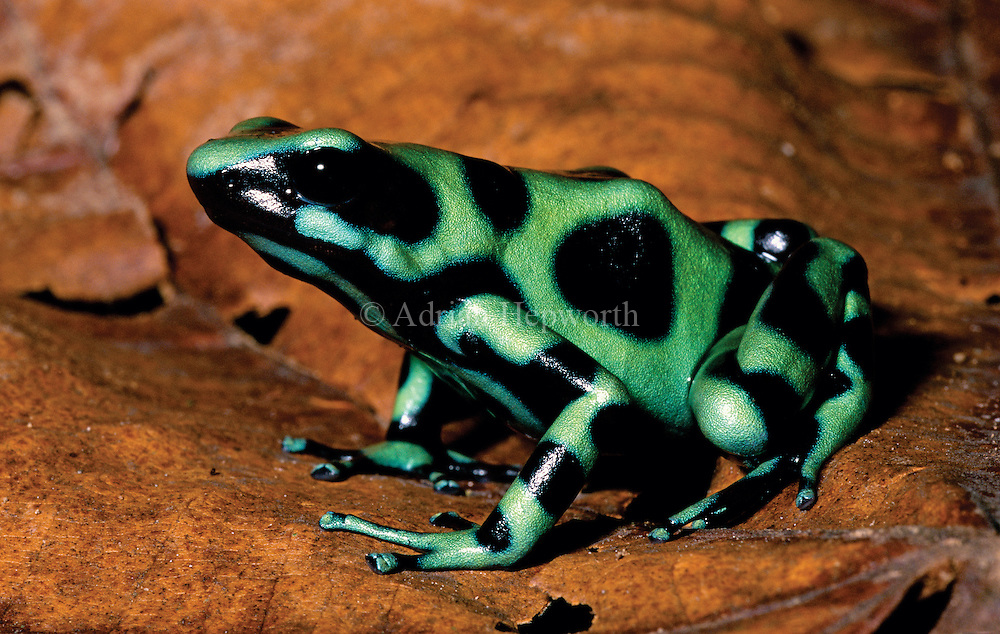 Poison Dart Frog (Dendrobatus auratus) in caribbean rainforest. Braulio Carrillo National Park, Costa Rica. <br />