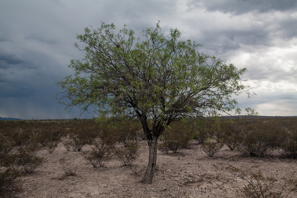 Una delle molteplici piante del deserto di wirikuta.<br /> One of several plants of wirikuta desert.