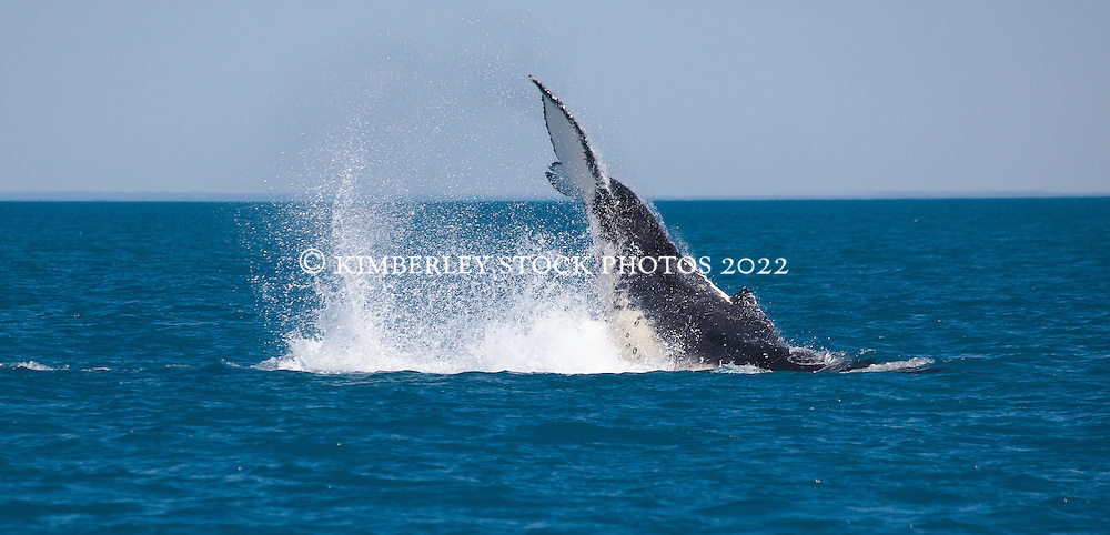 A humpback whale tail slashes just off Willie Creek to the north of Broome.