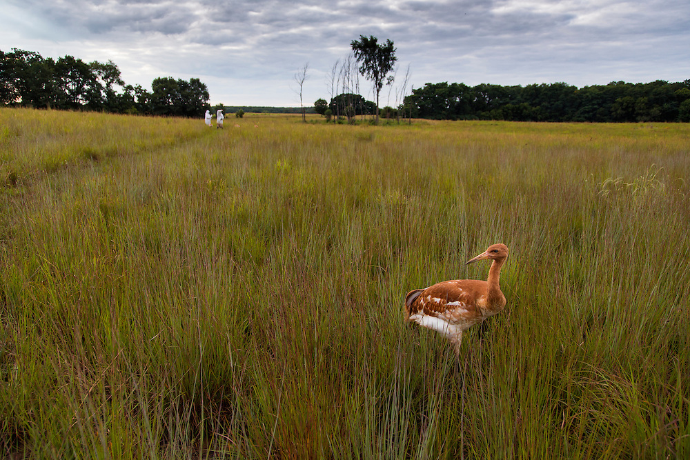 A juvenile Whooping Crane stands in a prairie.