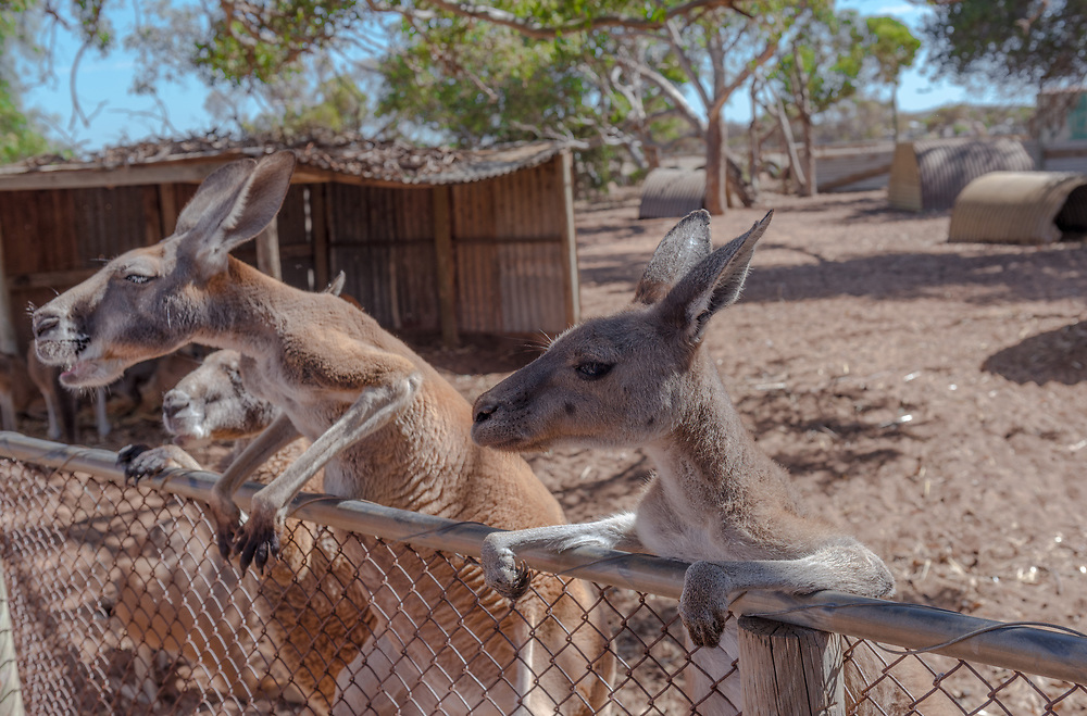 Kangeroos lean over a fence as they anticipate being fed.