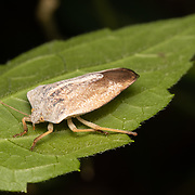 Tessaratomids resemble large stink bugs (family Pentatomidae) and are sometimes quite colorful.