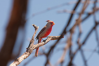 The pyrrhuloxia is a member of the cardinal family that has a range that just reaches into the Unites States in the states of Arizona, New Mexico and Texas. It is very similar in appearance to the more common red (or Northern) cardinal, but has an overall gray coloration with a red face (males) and red crest. This beautiful male was found and followed through the Sonoran Desert in Tucson, Arizona on a hot spring morning.