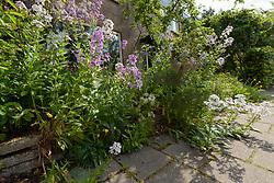 Kortenhoef, Wijdemeren, Netherlands, tuin Damastbloem, Hesperis matronalis